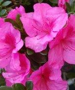 Bloom 'N Again® Passionate Pink Azalea