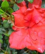 Bloom 'N Again® Apricot Beauty Azalea