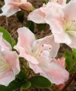 Bloom 'N Again® Kristin's Blush Azalea