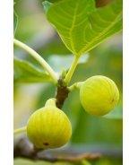 Desert King Fig