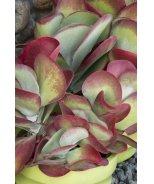 Desert Rose Paddle Plant