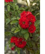 Autumn Sunblaze® Miniature Rose