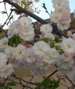 Angel's Blush® Flowering Cherry