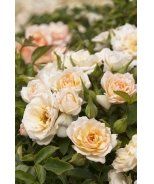 Bridal Sunblaze® Miniature Rose