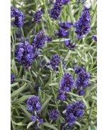 Sweet Romance™ English Lavender