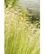 Blonde Ambition Blue Grama Grass
