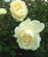 Cloud Ten™ Climbing Rose