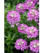 Absolutely Amethyst® Candytuft