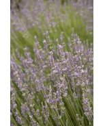 Provence French Lavender
