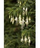 Hawkshead Hardy Fuchsia
