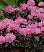 Black Satin Rhododendron