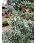 Chaparral Arizona Cypress
