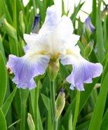 Clarence Bearded Iris
