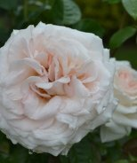 Francis Meilland™ Hybrid Tea Rose