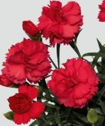 SuperTrouper™ Scarlet Red Dianthus