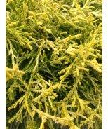 Paul's Gold Threadleaf False Cypress