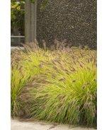 Black Flowering Fountain Grass