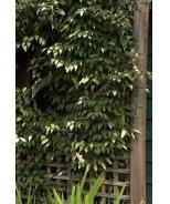 Rosy Crabapple Kiwi