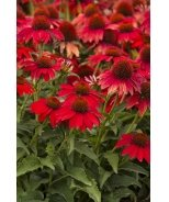 Sombrero® Salsa Red Coneflower