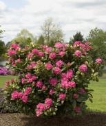 Rocket Rhododendron