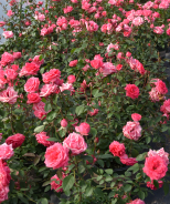 Tahitian Treasure™ Rose