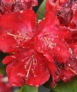 Skookum Rhododendron