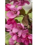 Royal Raindrops® Flowering Crabapple