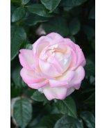 Best Kept Secret™ Rose