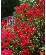 Red Rooster® Crape Myrtle