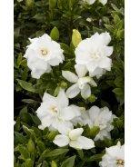 Summer Snow® Gardenia