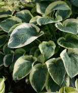 Northern Exposure Hosta
