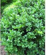 Gordo™ Big Leaf Boxwood