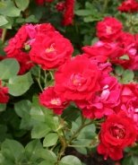Champlain Hardy Shrub Rose