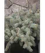 Procumbens Colorado Blue Spruce
