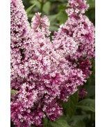 Redwine Lilac