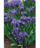 Banbury Ruffles Bearded Iris