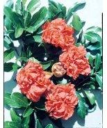 Toyosho Pomegranate