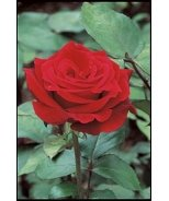 Mr. Lincoln Hybrid Tea Rose