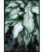 White Ruffles Caladium