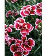 Sunflor® Margarita Dianthus