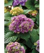Double Delights™ Expression Hydrangea