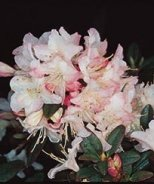 Ginny Gee Rhododendron