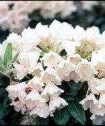Crete Rhododendron