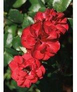Ruby Meidiland® Rose