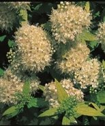 White Gold Spirea