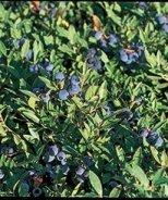 Brunswick Lowbush Blueberry