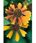 Sahin's Early Flowerer Helenium