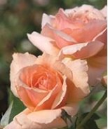 Apricot Candy™ Hybrid Tea Rose