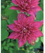 Fireflame™ Clematis