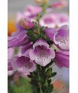 Dalmatian Rose Foxglove